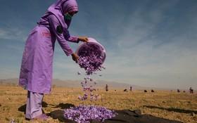 یک زن افغان پس از برداشت گل زعفران در هرات