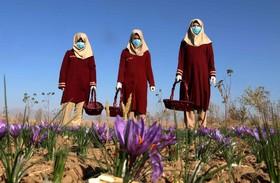 برداشت زعفران در هرات افغانستان