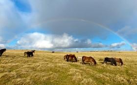 پرورش اسب های کوتاه قد موسوم به پونی در ولز انگلیس