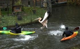 تلاش مسئولان باغ وحش در جمهوری چک برای انتقال یک پلیکان به محل زمستانی