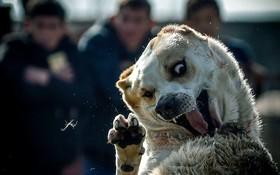 جنگ سگ های چوپان در قرقیزستان برای پرورش سگ های مناسب در بیشکک
