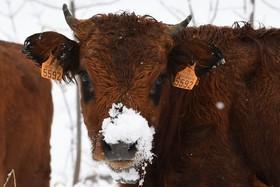 گاوهای پرورشی در مناطق کوهستانی آلپ فرانسه