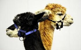 نمایشگاه بین المللی حیوانات در بیرمنگام انگلیس