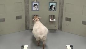 آزمانیش بر روی گوسفندان در دانشگاه کمبریچ برای آگاهی از توان شناسایی چهره آنان