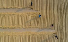 خشگ کردن دانه های برنج در منطقه هینان در چین