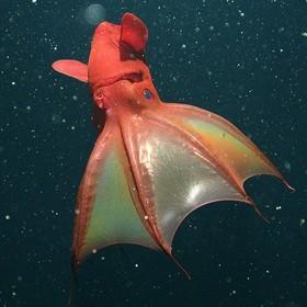 (تصاویر) موجودات عجیب  و وحشت ناک دریایی :ماهی مرکب خفاشی که در سال 2012 مشاهده شده است