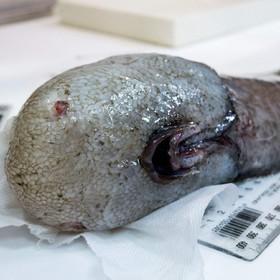 (تصاویر) موجودات عجیب  و وحشت ناک دریایی :ماهی انجیری که در اعماق آب های استرالیا مشاهده شده است