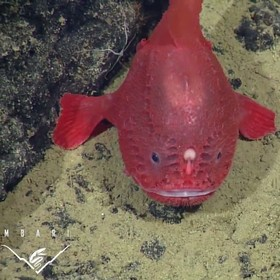 (تصاویر) موجودات عجیب  و وحشت ناک دریایی :ماهی تابوتی