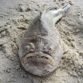 (تصاویر) موجودات عجیب  و وحشت ناک دریایی :ماهی که در اعماق دریا زندگی می کند
