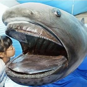 (تصاویر) موجودات عجیب  و وحشت ناک دریایی:کوسه دهان گنده که نخستین بار در سال 1976 در نزدیک ساحل هاوایی مشاهده شد