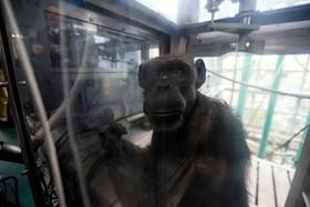 شامپانزه ای در در مرکز پژوهشی دانشگاه کیوتو