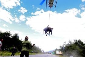 انتقال یک گاو به محل امن پس از رانش زمین در شیلیی