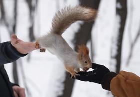 سنجاب در کنار رهگذران در روسیه