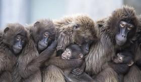 بابون ها در باغ وحشی در آلمان در زمستان
