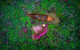 برداشت گل های نیلوفرآبی در ویتنام