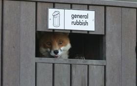 روباحی که به دنبال غذا به درونن سطل زباله رفته