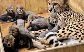 تولد بی سابقه توله های هشت قلوی یوزپلنگ در باغ وحش