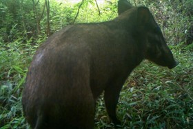 عکسی که با تله از نوعی خوک نادر در اندونزی گرفته شده که منقرض شده اعلام شده بود