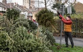 جمع آوری درخت های کریسمس در محلی برای بازیافت