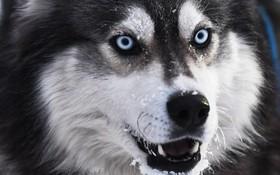 مسابقات سورتمه سواری در نووسیبریسک در روسیه و سگی که در این مسابقات سورتمه می کشیده در حال استراحت