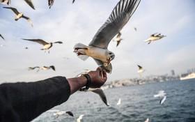 مرغ های ماهیخوار در تنگه بسفر در ترکیه