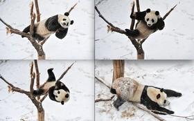 بازی خرس پاندا در باغ وحشی در چین