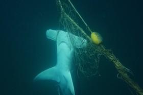 کوسه سرچکسی که در تور ماهیگیران گرفتارشده و مرده است موجب اعتراض حامیان حیوانات و محیط زیست شده است