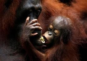 اورانگوتانی در باغ وحش سنگاپور در حال رسیدگی به توله اش