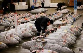 بازار ماهی فروش های توکیو و عمده فروشی که درحال بررسی ماهی های تن است