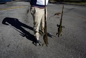 سوسمارهای ایگوانا که از سرماه به شهر پناه آورده اند در فلوریدای آمریکا