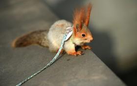 سنجاب خانگی در چین برای گردش بیرون آمده است