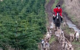 مراسم سنتی شکار روباه در انگلیس