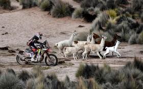 صحنه ای از مسابقه داکار در پرو که موتورسواری از کنار شتر معروف آمریکای لاتینی موسوم به لاما عبور می کند