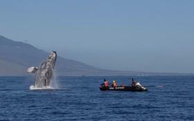 نهنگی در سواحل هاوایی در آمریکا