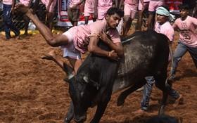 یک ورزش سنتی در مادورا در هند و تلاش مردی برای کنترل یک گاو