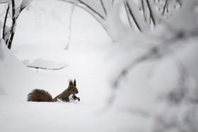 پارکی در مسکو روسیه در میان برف و سنجابی درحال بازی