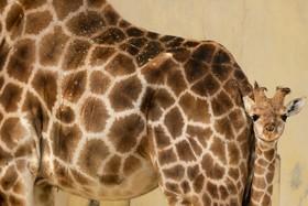 تولد توله زرافه در باغ وحشی در لیسبون پرتغال