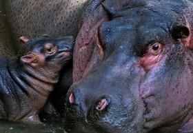 توله سه روزه اسب آبی در باغ وحشی در هند