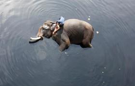فیل بانی در حال شستن فیلش در دهلی