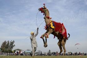 جشنواره ای در هند و رقص شتر ها
