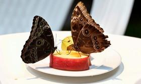 نمایش پروانه ها در رم ایتالیا