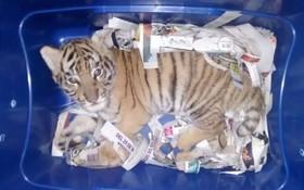 کشف یک بچه ببر در بسته پستی قاچاق در مکزیک