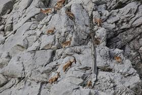 بزهای وحشی در کوهستان های آنتالیا ترکیه