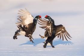 جنگ خروس ها در پارک حیات وحشی در سوئد