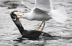 جنگ مرغان ماهی خوار