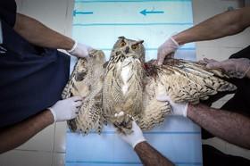 درمان حغدی زخمی در درمانگاهی در وان ترکیه درمان می شود