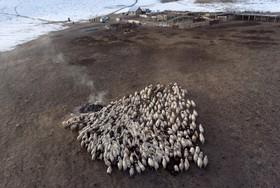 دامداری در منطقه آلتای سیبری روسیه