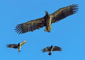 عقاب دریایی در کنار دو کلاغ
