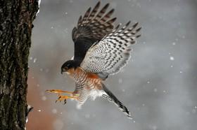 عقابی در حال شکار در مجارستان