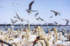 قوها و مرغان ماهی خوار در رودخانه دانوب در جمهوری چک